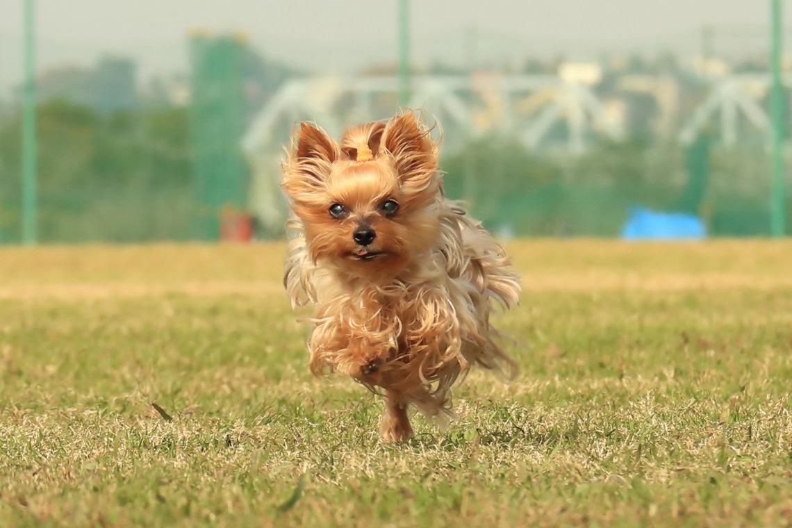 宠物萌态的镜头                           动感十足,向前奔跑的狗狗